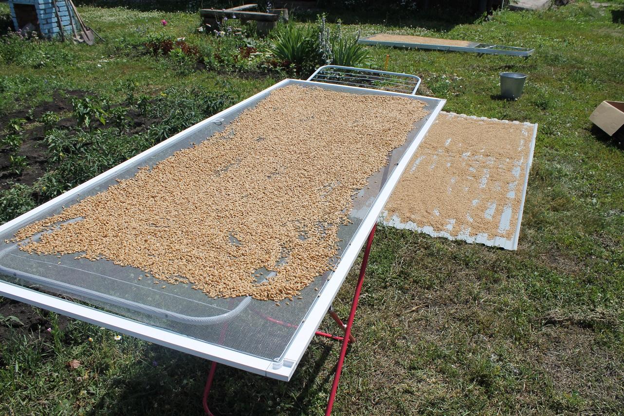 Прорастить пшеницу в домашних условиях для самогона
