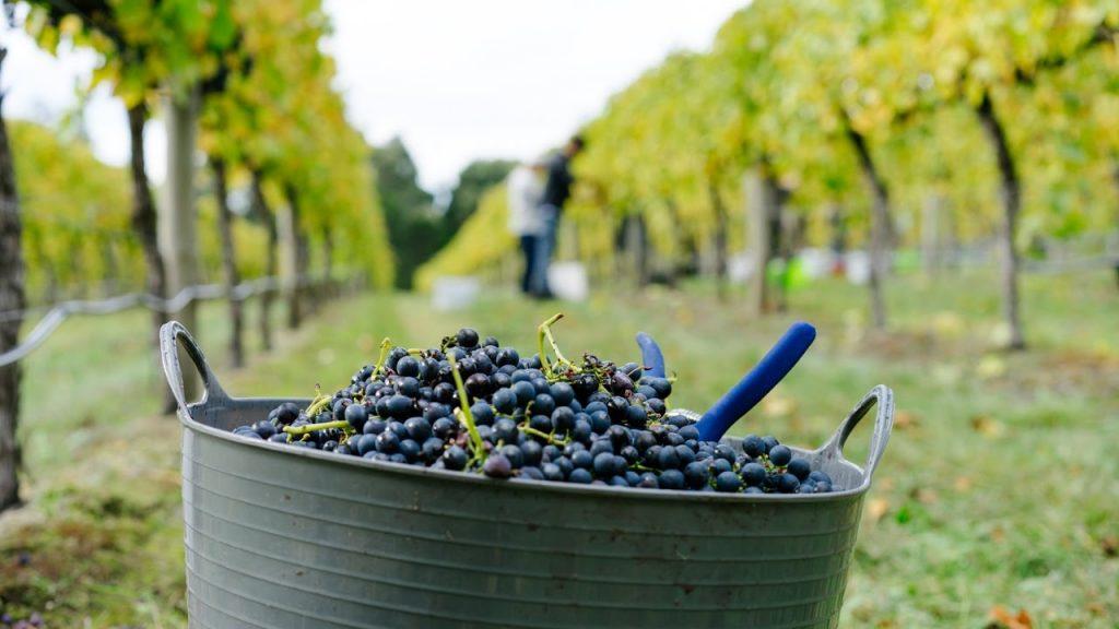 сорт винограда шираз вино