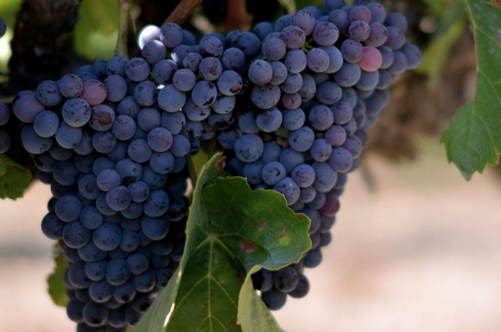 виноград сира или шираз